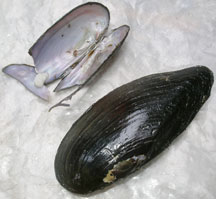 Eastern Pond Mussel