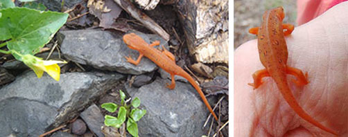 Red Eft, trail and on hand