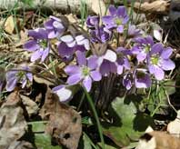 Round-Leaved Hepatica